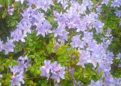 Blauer Zwergrhododendron