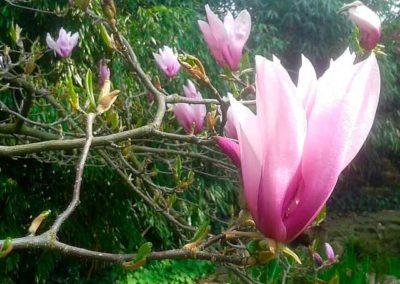 Lilienblütige Magnolie