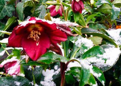 Garten Feb 2017 Christrose