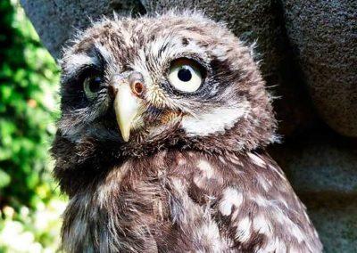 Steinkauz Jungvogel