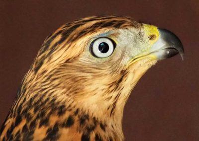 Jungterzel (Rotvogel)