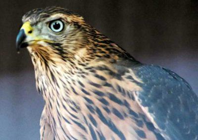 Junghabicht, weiblich (Rotvogel)
